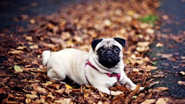 A diszplázia és a kutya megfelelő táplálása