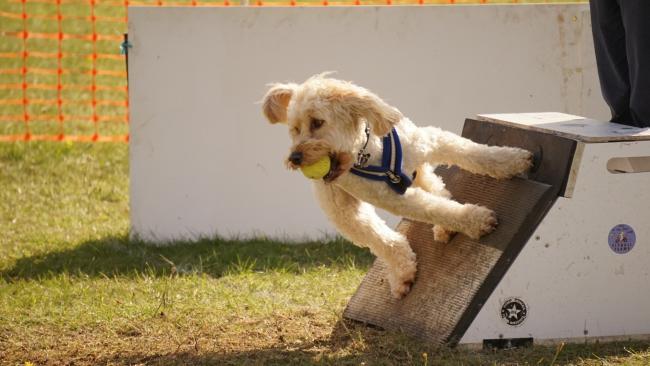 A flyball kutyás sport