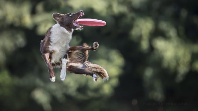 A frizbi kutyás sport