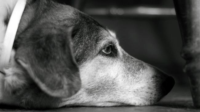 Hemangiosarcoma a kutyáknál