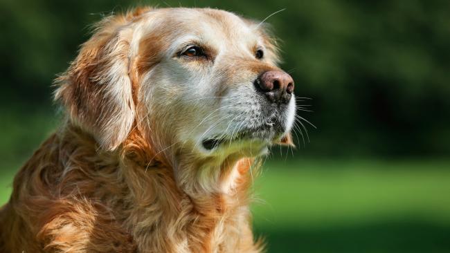 A könyökizületi diszplázia kutyáknál