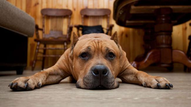 Limfóma a kutyáknál