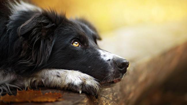 Mastocitoma hízósejtes daganat kutyáknál