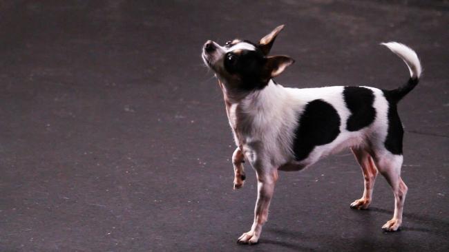 Trükkök tanítása kutyáknak