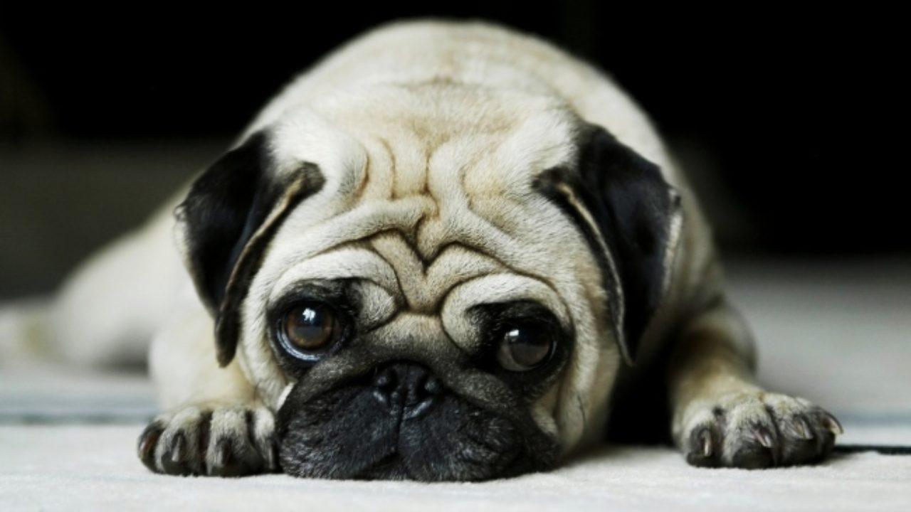 Fogyás elhízott kutyáknál